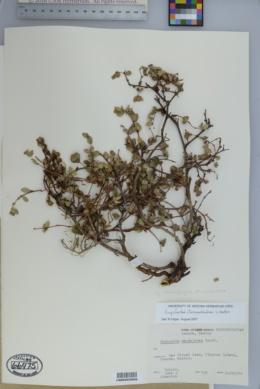 Image of Chamaesyce tomentulosa