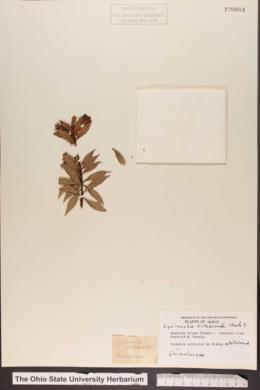 Lysimachia hillebrandii image