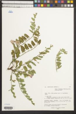 Convolvulus arvensis image