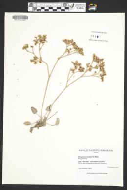 Eriogonum jonesii image