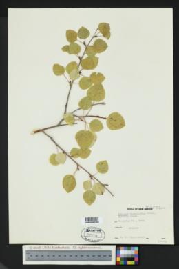Populus tremuloides image