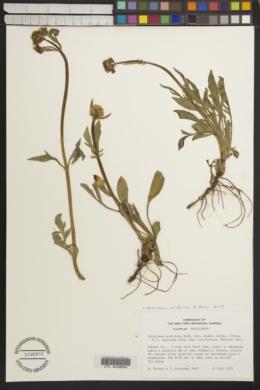 Valeriana californica image