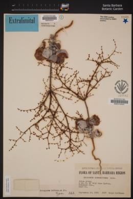 Image of Eriogonum hoffmannii
