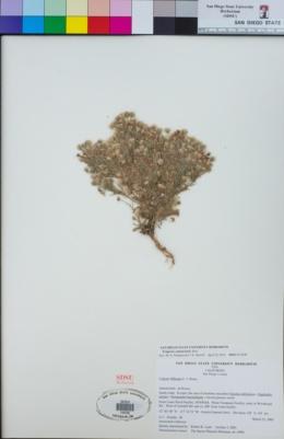Erigeron sumatrensis image