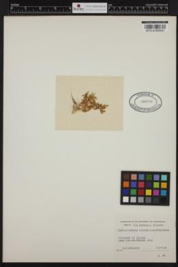 Hydroclathrus clathratus image