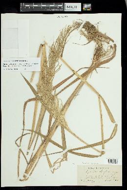 Dinebra scabra image