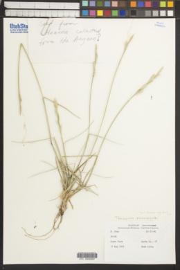Elymus farctus image