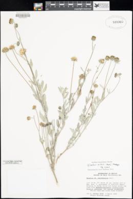 Helianthus niveus image