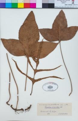 Image of Phymatopsis incurvata