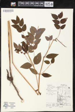 Apocynum androsaemifolium image