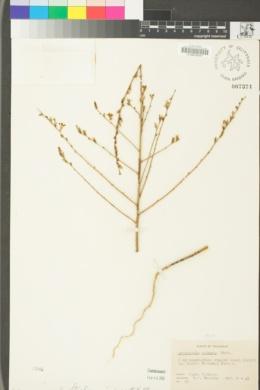 Stephanomeria virgata image