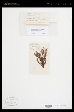 Halopteris scoparia image