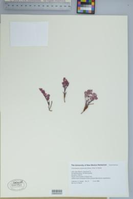 Chamaesyce chaetocalyx image