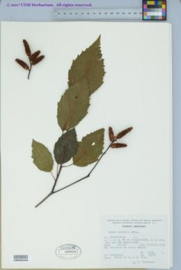 Image of Alnus glabrata