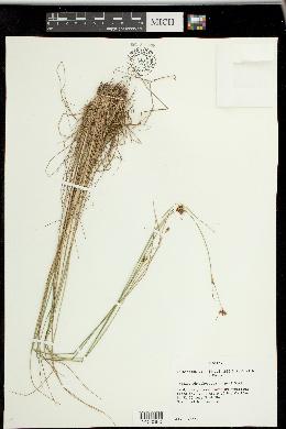 Image of Rhynchospora harperi