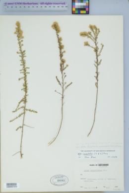 Symphyotrichum falcatum image