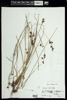 Image of Rhynchospora rugosa