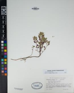 Image of Monardella palmeri