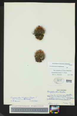 Image of Escobaria hesteri
