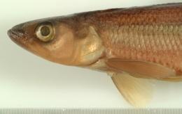 Osmerus mordax image