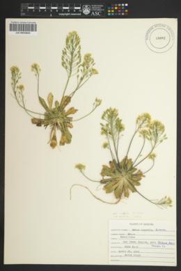 Draba asprella var. asprella image