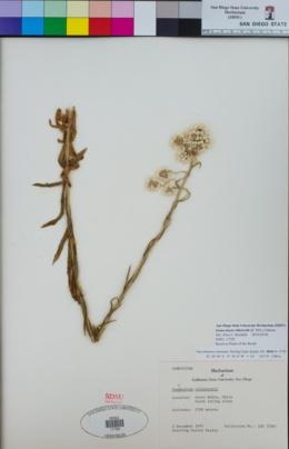 Image of Gamochaeta villarroelii