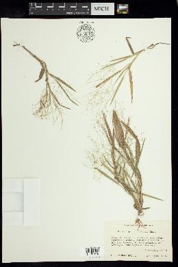 Image of Panicum hillmanii