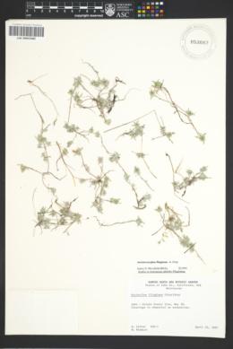 Image of Ancistrocarphus filagineus