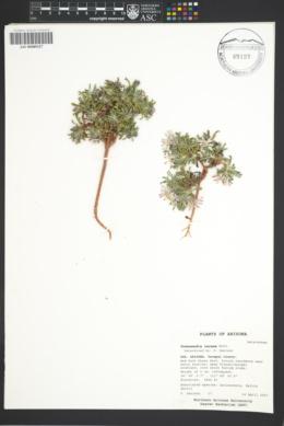 Townsendia incana image