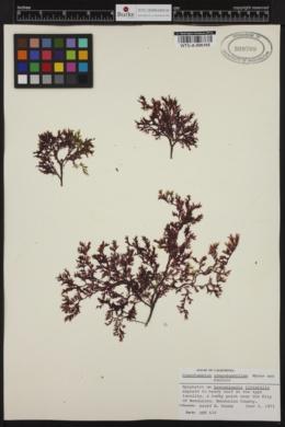 Cumathamnion sympodophyllum image