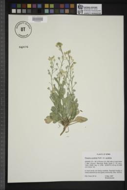 Physaria acutifolia var. acutifolia image