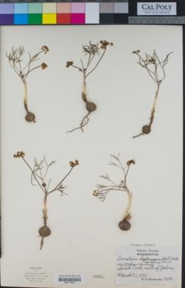 Image of Lomatium hambleniae