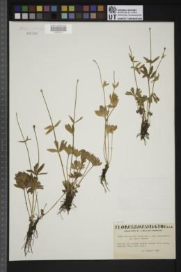 Image of Ranunculus suksdorfii