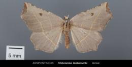 Metanema inatomaria image