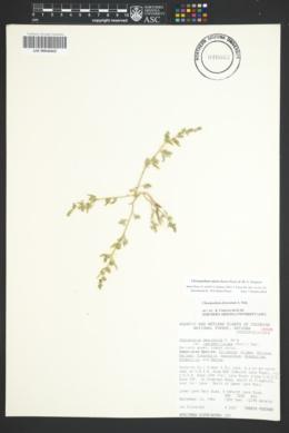 Image of Chenopodium nitens