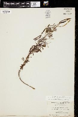 Image of Desmanthus velutina