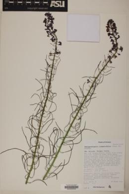 Schoenocrambe linearifolia image
