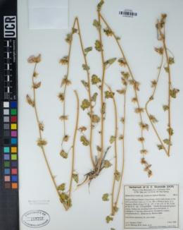 Sphaeralcea rusbyi image