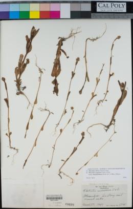 Plectritis macrocera image