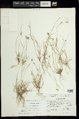 Image of Cathestecum prostratum
