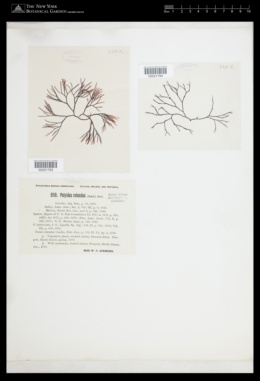 Polyides rotunda image