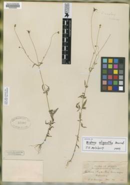 Image of Bidens oligantha