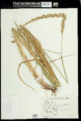 Image of Leymus x multiflorus