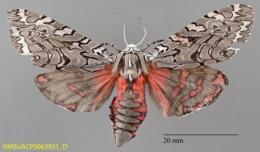 Arachnis aulaea image