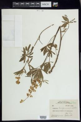 Image of Lupinus bingenensis