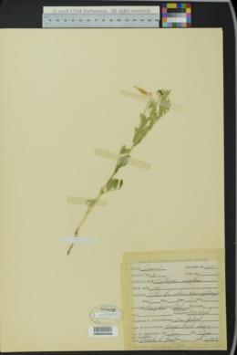Image of Lathyrus rigidus