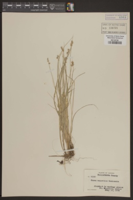 Image of Carex angustior