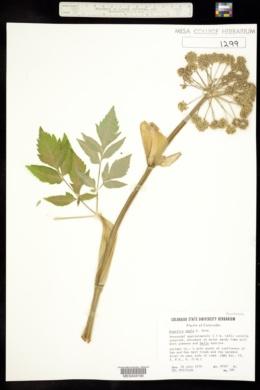 Angelica ampla image