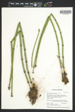 Equisetum × ferrissii image