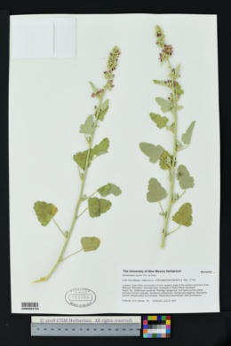 Sphaeralcea incana image